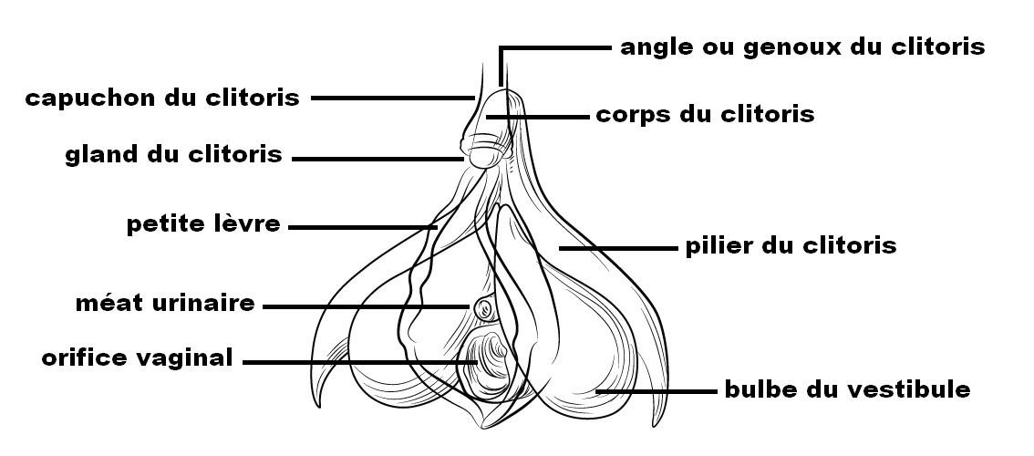 Le clitoris est un organe complexe