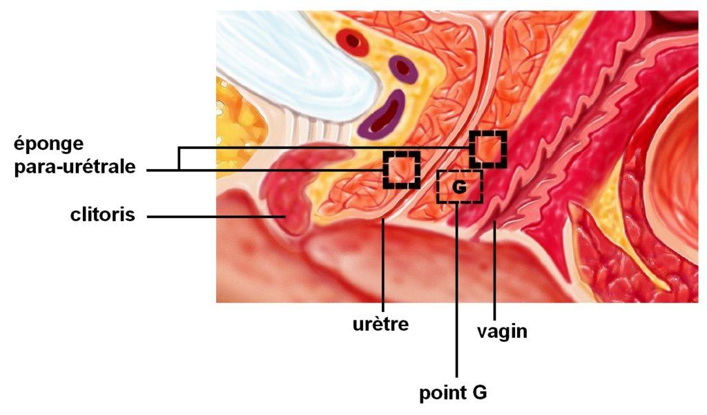 L'éponge para-urétrale chez la femme