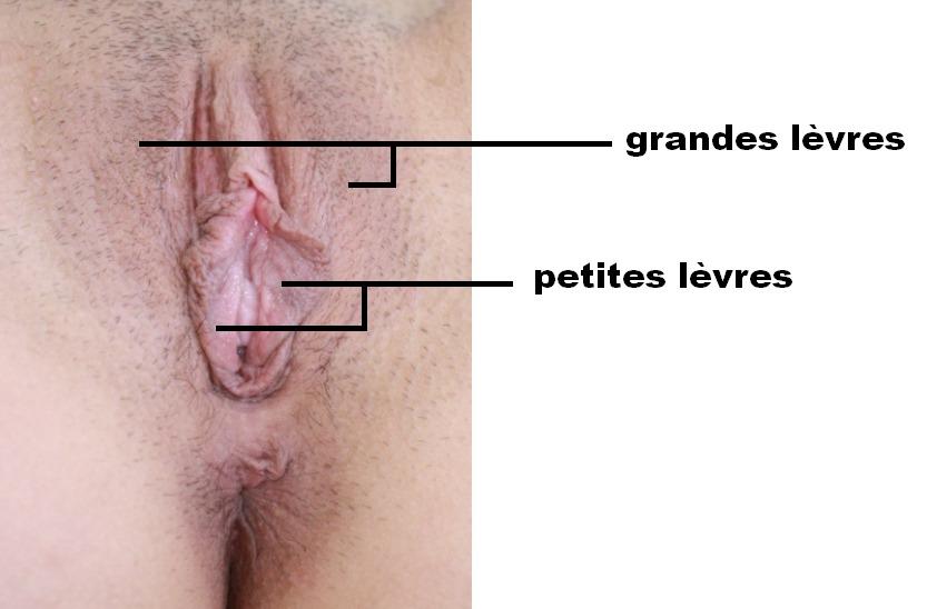 Les grandes et petites lèvres vaginales