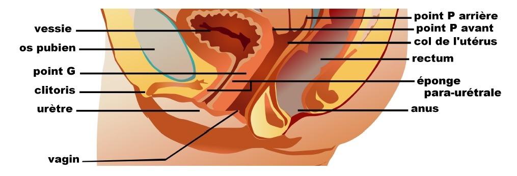 L'os pubien et le point G