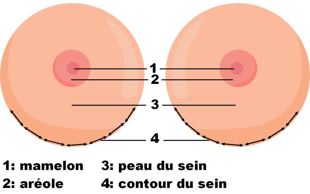 L'anatomie des seins