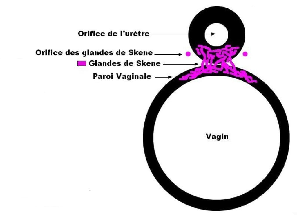 La prostate féminine a un rôle à jouer dans le squirt