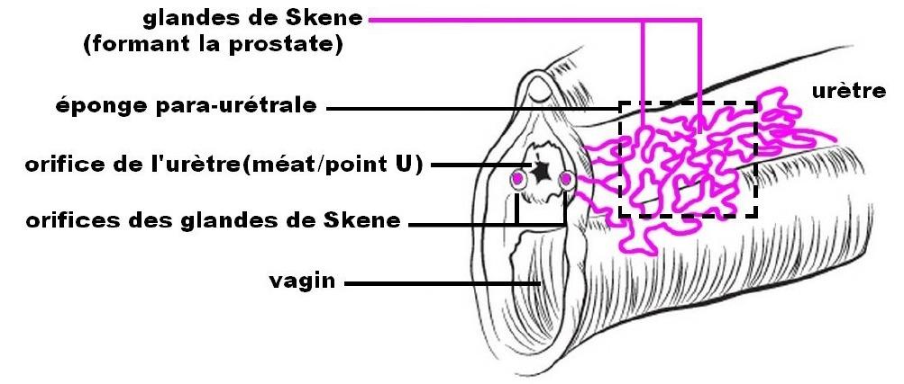 Stimulez le méat urinaire