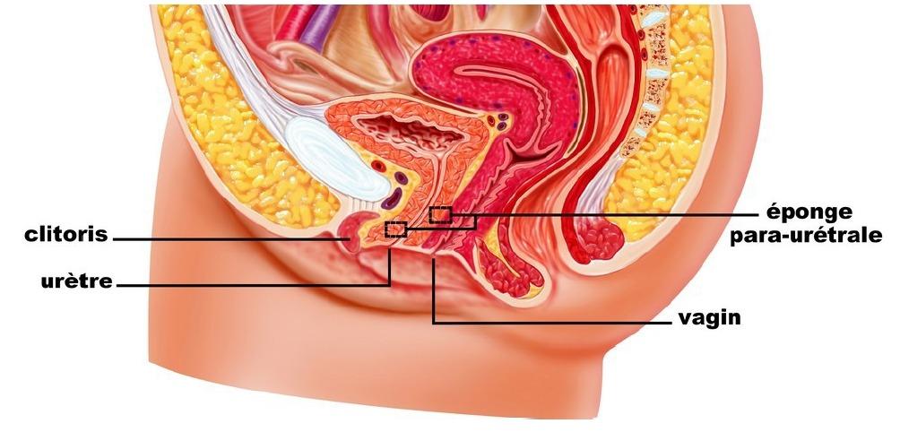 L'urètre et le tissu spongieux para-urétral (image)