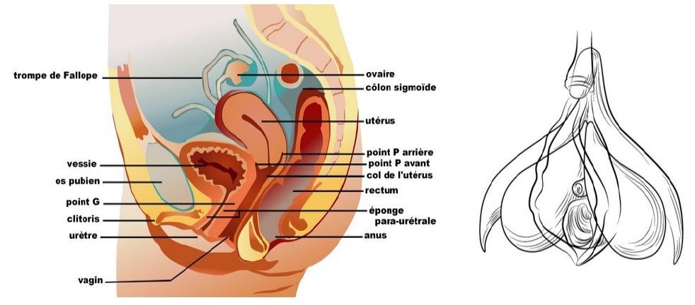 Un visuel détaillé du clitoris