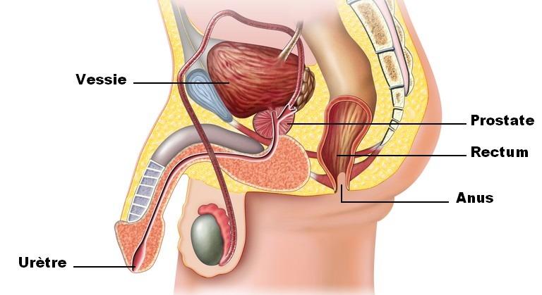 Schéma de la localisation de la prostate chez un homme