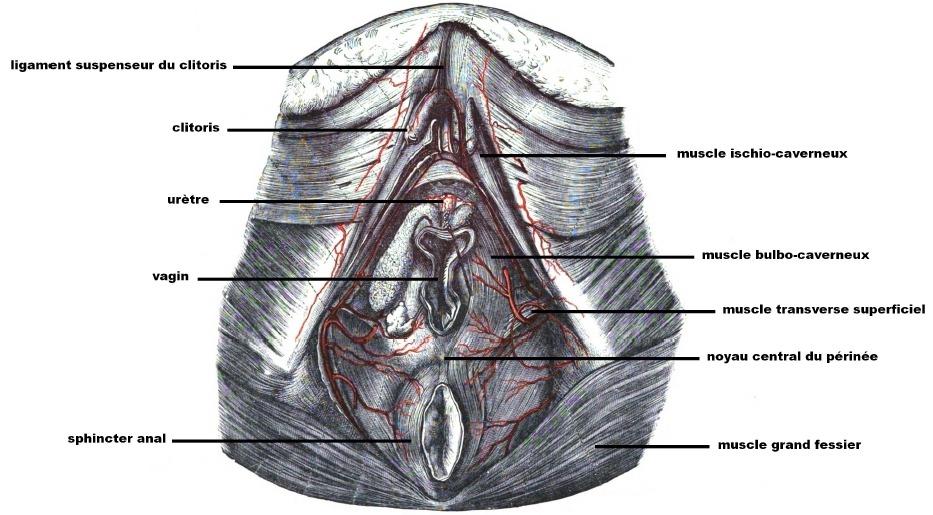 Les muscles du plancher pelvien (femme) pour jouir