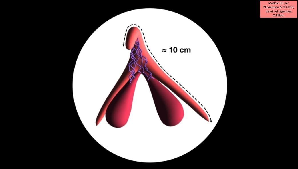 Le clitoris mesure en moyenne 10 cm