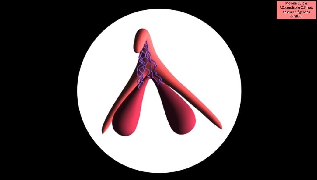 Un modèle 3D du clitoris (photo)