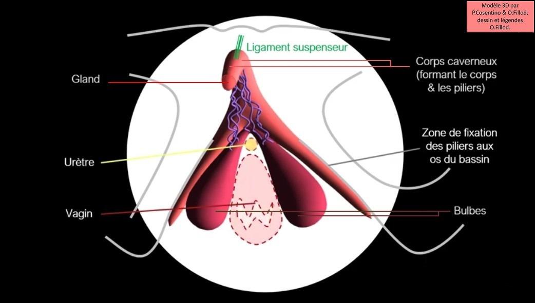 La structure (3D) du clitoris